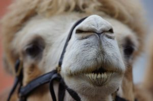 camel-1639198_1280